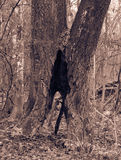 Albero nel parco con la cavità fotografie stock libere da diritti