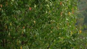 Albero nel vento Il vento strappa le foglie fuori dall'albero fogli di caduta di autunno archivi video