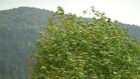 Albero nel vento Il vento strappa le foglie fuori dall'albero fogli di caduta di autunno Movimento lento archivi video