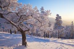 Albero nell'inverno Fotografia Stock