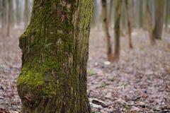 Albero nella foresta Immagine Stock Libera da Diritti