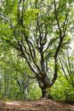 Albero nella foresta, paesaggio della montagna Immagine Stock Libera da Diritti