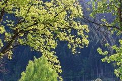 Albero nella primavera Fotografia Stock