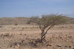Albero nelle montagne dell'Oman Fotografia Stock