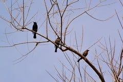Albero nero dell'uccello Fotografia Stock Libera da Diritti