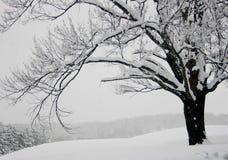 Albero in neve Fotografie Stock Libere da Diritti
