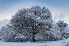 albero nevoso Immagini Stock