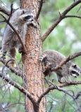 Albero nordamericano dei raccoons, sosta nazionale del yellowstone Fotografia Stock Libera da Diritti