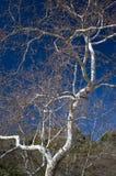 Albero nudo 02 del pendio di collina Fotografie Stock