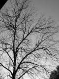 Albero nudo in bianco e nero fotografia stock