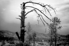 Albero nudo decrepito sull'alta pianura del deserto Immagine Stock Libera da Diritti
