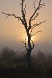 Albero nudo profilato sul parco Sudafrica di Kruger del sole di mattina Fotografia Stock Libera da Diritti