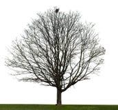 Albero nudo su bianco Fotografia Stock