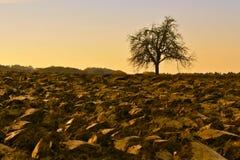 Albero nudo sul campo nella caduta Immagine Stock