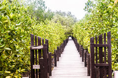 Albero o arbusto delle mangrovie Fotografie Stock
