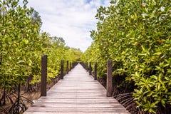 Albero o arbusto delle mangrovie Fotografia Stock