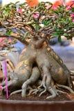 Albero di obesum del Adenium immagini stock libere da diritti