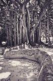 Albero originale con le grandi radici in un parco di Palermo Immagine Stock Libera da Diritti