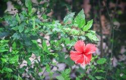 Albero ornamentale tropicale di hibiscus rosa sinensis della natura e petalo rosso dei singoli fiori variopinti con polline lungo fotografie stock libere da diritti