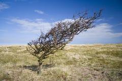 Albero piegato vento sulle dune di sabbia esposte. Fotografie Stock Libere da Diritti