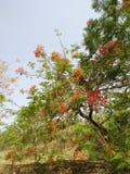 Albero in pieno dei fiori e delle foglie verdi rossi Fotografia Stock