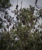 Albero in pieno dei pipistrelli durante il giorno Immagine Stock