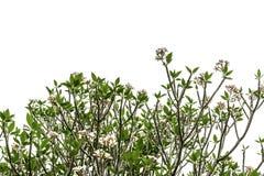 Albero (plumeria) isolato su fondo bianco Fotografie Stock Libere da Diritti
