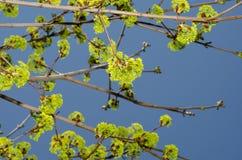Albero in primavera Immagini Stock Libere da Diritti