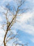 Albero privo delle foglie e del cielo fotografia stock libera da diritti
