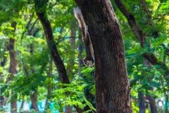Albero rampicante dello scoiattolo con il fondo della sfuocatura Immagini Stock Libere da Diritti