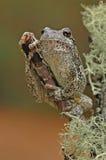 Albero-rana grigia (hyla versicolor) Fotografia Stock
