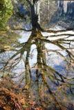 Albero riflesso in stagno tranquillo Immagine Stock