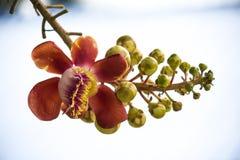 Albero robusta dello Shorea Fotografia Stock