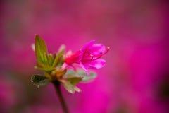 Albero rosa Blosson Fotografia Stock Libera da Diritti