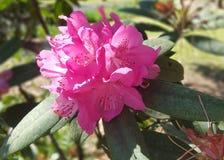 Albero rosa del fiore - pianta rosa del fiore fotografie stock