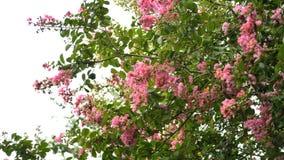 Albero rosa del mirto di crêpe in fioritura contro il cielo Immagine Stock