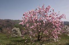 Albero rosa della magnolia in piena fioritura Immagini Stock Libere da Diritti