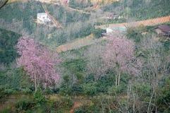 Albero rosa di due sakura in Dalat Fotografie Stock
