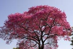 Albero rosa di lapacho Fotografie Stock