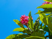 Albero rosa di plumeria Immagini Stock