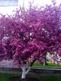 Albero rosa in fiore pieno, il segno della molla a Kiev Fotografia Stock