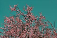 Albero rosa infrarosso surreale Immagine Stock