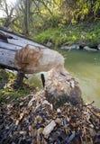 Albero rosicchiato dai castori Immagini Stock