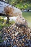 Albero rosicchiato dal castoro Fotografia Stock