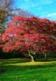 Albero rosso fotografie stock