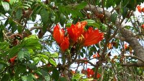 Albero rosso del sud 4k Florida S.U.A. del fiore di Key West di giorno di estate archivi video