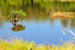 Albero rosso della mangrovia in una palude d'acqua salata Fotografia Stock