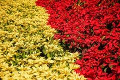 Albero rosso e giallo nel giardino Immagini Stock