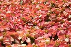 Albero rosso e giallo nel giardino Immagini Stock Libere da Diritti