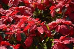 Albero rosso nel giardino Fotografia Stock Libera da Diritti